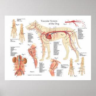 """Poster Affiche vasculaire 18"""" d'anatomie de chien X 24"""""""