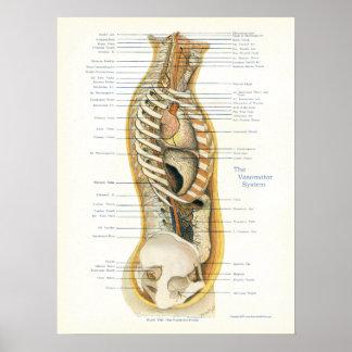 Poster Affiche vaso-motrice Osteopathic de système