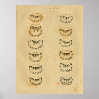 Poster Âge de cheval par la copie vintage d'anatomie de