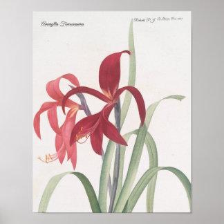 Poster Amaryllis Fomossissima