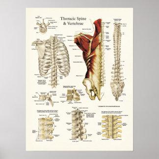 Poster Anatomie de l'épine et des vertèbres thoraciques