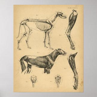 Poster Anatomie de muscles de squelette de chien 1908