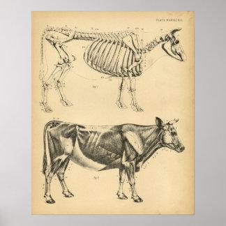 Poster Anatomie squelettique de muscle de boeuf de vache