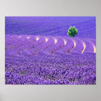 Poster Arbre solitaire dans le domaine de lavande, France