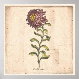 Poster Aster botanique antique de pourpre d'affiche