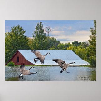 Poster Atterrissage d'oie du Canada sur l'étang