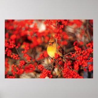 Poster Baies femelles et rouges cardinales, IL