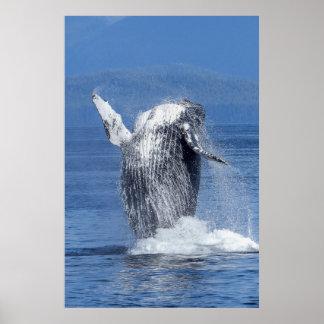 Poster Baleine de bosse