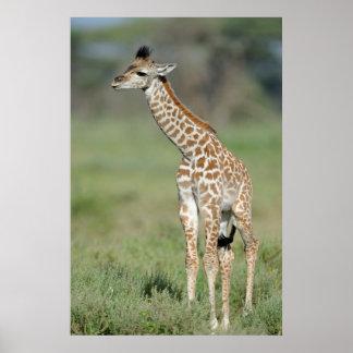 Poster Bébé de girafe de Massai