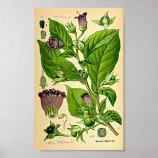 Poster Belladone/morelle mortelle (belladone d'atrope)