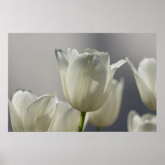 Poster Belles tulipes blanches de ressort