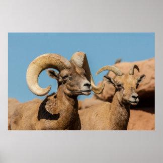 Poster Bighorn de désert masculin et femelle