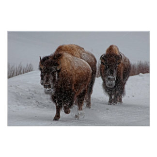 Poster Bison de Yellowstone