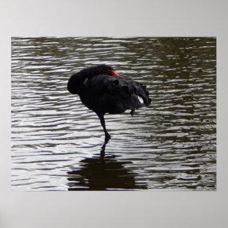 Poster black shwan 2
