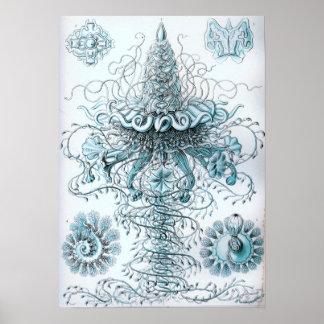 Poster Bleuet de méduses d'Ernst Haeckel Siphonophorae