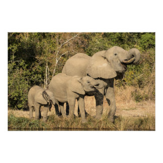 Poster Boire de famille d'éléphant