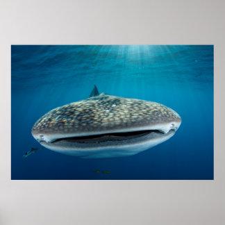 Poster Bouche de requin de baleine