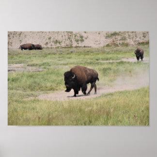 Poster Buffalo sur le mouvement, photographie