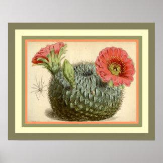 Poster Cactus fleurissant du Ca botanique 1847 de Curtis