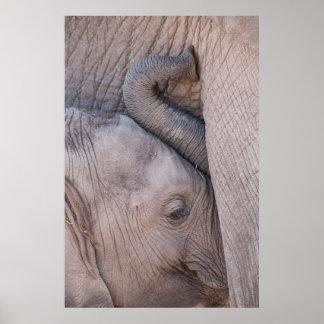 Poster Câlins d'éléphant de bébé