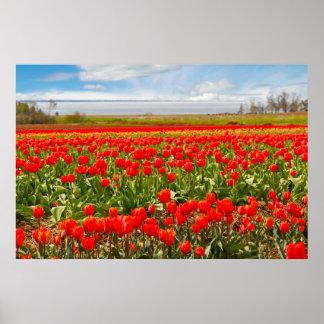 Poster Champ de tulipe