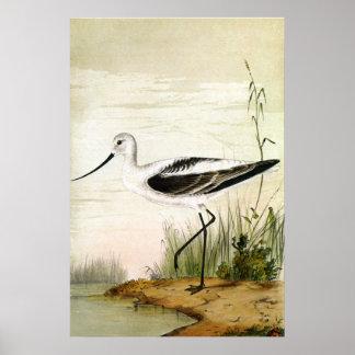 Poster Charadriidés vintages d'espèce marine, oiseaux