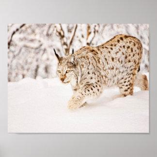 Poster Chat de lynx de chasse dans la neige