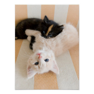 Poster Chatons blancs et noirs