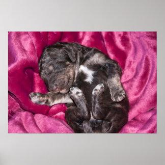Poster Chiot adorable de caniche de sommeil