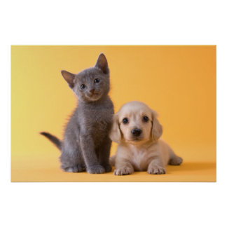 Poster Chiot bleu russe de chaton et de teckel