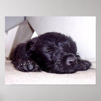 Poster Chiot noir de Terrier d'écossais faisant une