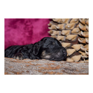 Poster Chiot somnolent de caniche