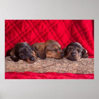 Poster Chiots de sommeil Doxen