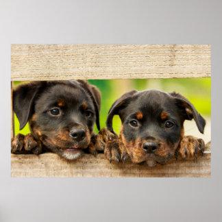 Poster Chiots mignons de rottweiler jetant un coup d'oeil