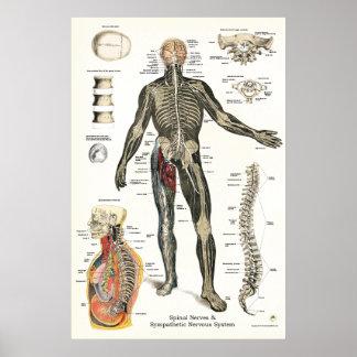 Poster Chiropractie 24 x 36 de nerfs rachidiens de