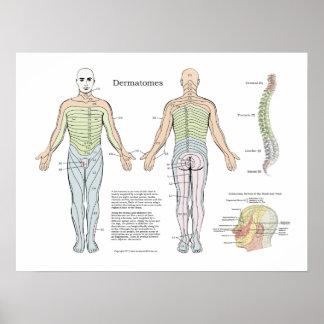 Poster Chiropractie spinale d'affiche de Dermatomes
