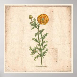 Poster Chrysanthème botanique antique d'affiche