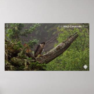 Poster Chute - faucon pérégrin