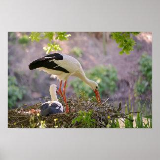 Poster Cigognes blanches sur son nid