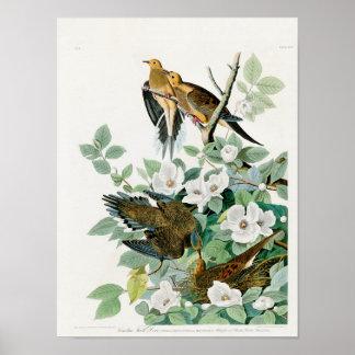 Poster Colombe de tortue de la Caroline, oiseaux de