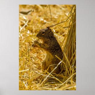Poster Consommation d'écureuil de roche
