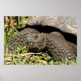 Poster Consommation | Galapagos de tortue géante