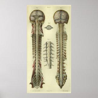 Poster Copie 1866 d'anatomie de nerfs de moelle épinière