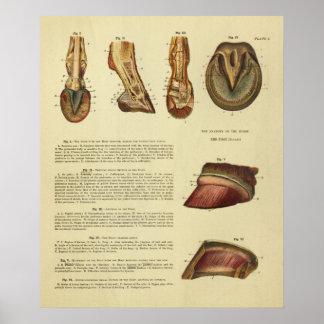 Poster Copie 1900 d'anatomie de sabot de pied de cheval
