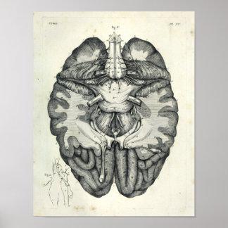 Poster Copie anatomique de nerfs crâniens de cerveau du