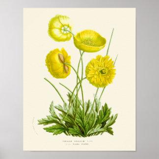 Poster Copie botanique de pavot jaune vintage
