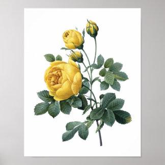 Poster Copie botanique de ROSE JAUNE par Redoute