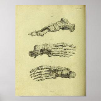 Poster Copie d'anatomie de 1824 os de pied humain
