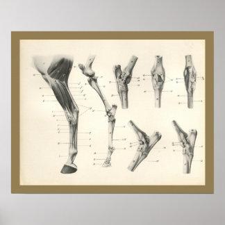 Poster Copie d'anatomie de joints d'os de jambe de