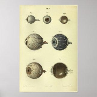 Poster Copie d'anatomie de l'oeil 1866 humain